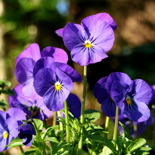 bluepansies1
